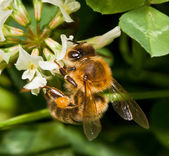 Bee pollinating clover — Stock Photo