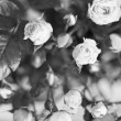Stock Photo: Desaturated roses