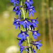Delphinium (Delphinium) — Stock Photo