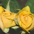 Two roses — Stock Photo