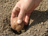 Planting potato — Stock Photo