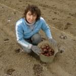 Planting potato — Stock Photo