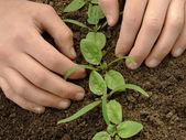 Allentare i semenzali di spinaci — Foto Stock