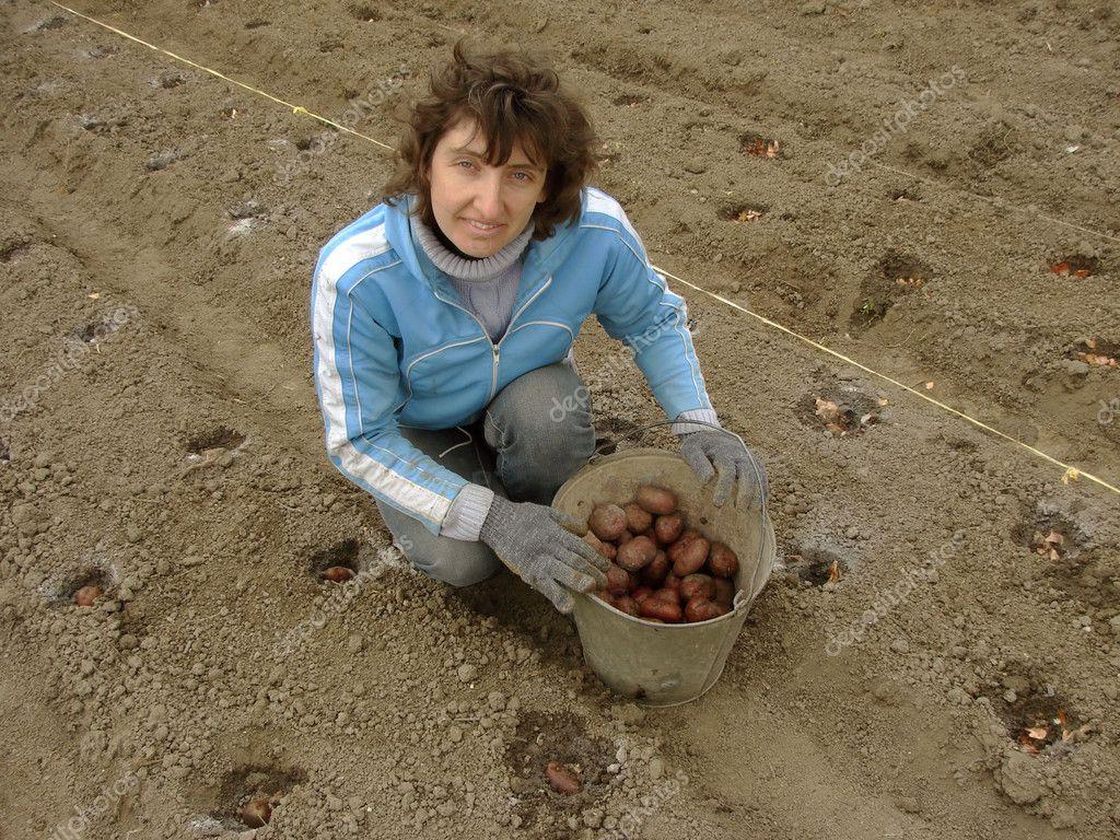 水桶的种植马铃薯块茎的女人