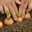 Planting onions — Stock Photo