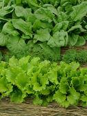 Greens organic — Stock Photo