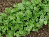Coriandrum sativum — Stock Photo