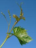 Młodych winogron klastrów — Zdjęcie stockowe