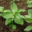 Beans seedlings — Stock Photo