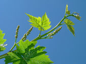 Young grape clusters — Stock Photo