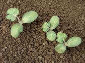 Watermelon seedlings — Stock Photo