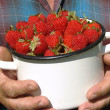 Harvesting strawberries - Stock Photo