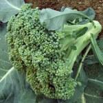 Broccoli head — Stock Photo
