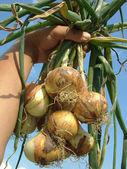 Fresh onions bunch — Stock Photo