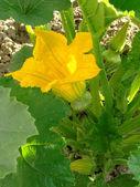 Flowering squash — Stock Photo