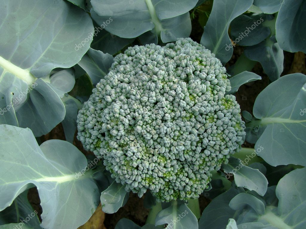 Young broccoli growing on the vegetable bed                                — Stock Photo #6560485