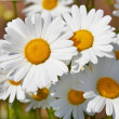 Daisies in a field, macro — Stock Photo #5789486