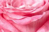 Pink rose macro — Foto de Stock