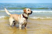 Beautiful young labrador — Stock Photo