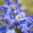 Spring blue flowers, macro - Stock Photo