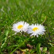 Spring daisies — Stock Photo