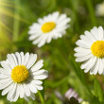 Spring daisies — Stock Photo