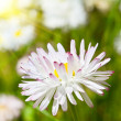 Stock Photo: Spring daisies