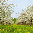 Stock Photo: Apple garden blossom