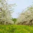 Apple garden blossom - Stock Photo