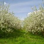 Apple garden blossom — Stock Photo #6255698