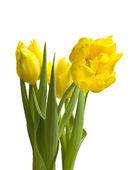 Желтые тюльпаны, изолированные на белом фоне — Стоковое фото