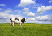 Cow on meadow — Stock Photo