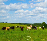 Cows in the meadow — Stock Photo