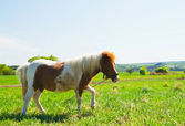 Pony on a green meadow — Stock Photo