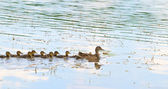 Duck and ducklings — Stock Photo