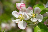Apple blossom — 图库照片