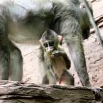 Monkey. Baby baboon. — Stock Photo #6604998