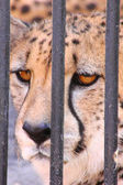 Jaguar. Look. In prison. — Stock Photo