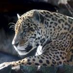 Jaguar. Hidden anger. — Stock Photo #6616849