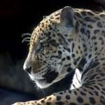 Jaguar. Hidden anger. — Stock Photo #6616870