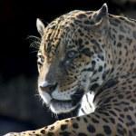 Jaguar. Hidden anger. — Stock Photo #6616874
