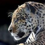 Jaguar. Hidden anger. — Stock Photo #6616903