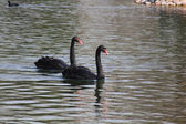 Black Swan. — Stock Photo