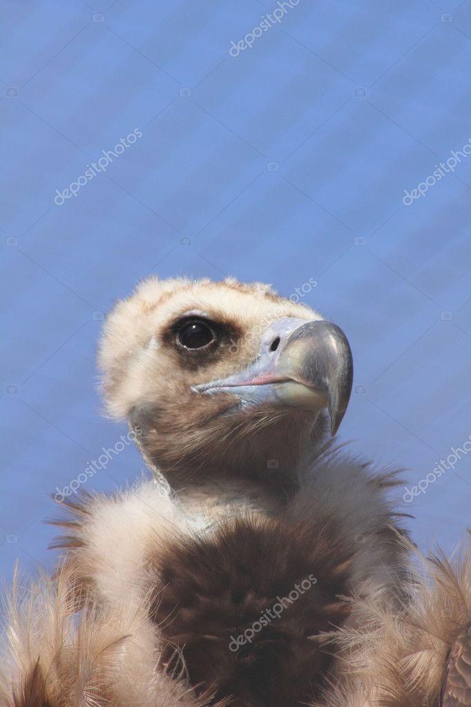 坐在莫斯科动物园的笼子里的秃鹫— 照片作者 pali137