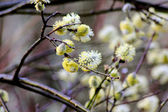 Flowering willow. — Stock Photo