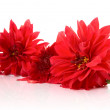 Stock Photo: Red dahlias isolated with reflexion