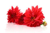 Red dahlias isolated with reflexion — Stock Photo