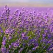Lavender flowers — Stock Photo #6121795