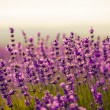 Lavender flowers — Stock Photo #6121829