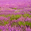 Lavender field — Stock Photo #6122218